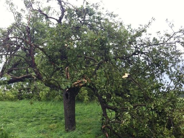 Baum mit drei Hauptästen, wobei einer davon abgeknickt ist.
