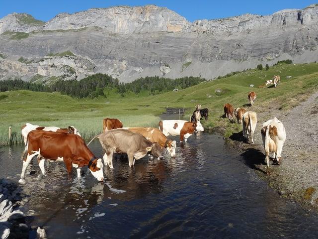 Kühe trinken  aus ein Bach, der die Almwiese teilt.