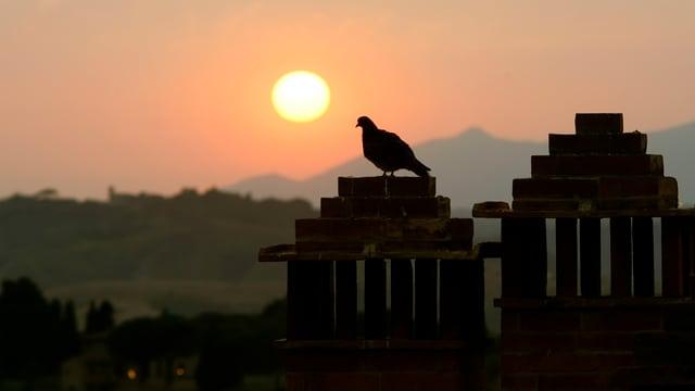 Taube auf Dach eines Häuschens in der Toskana.