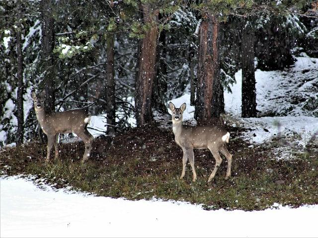 Zwei Rehe im Schneefall