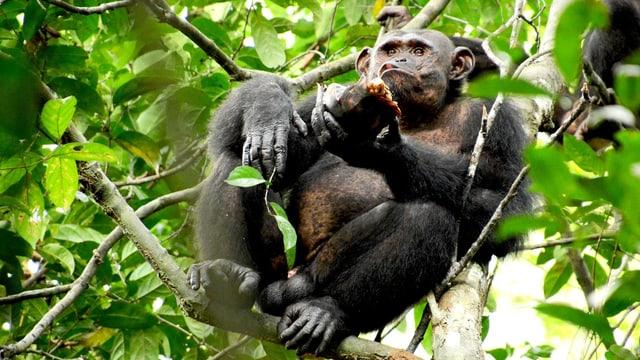 Ein Schimpanse in einem Baum beim Verzehren einer Schildkröte.