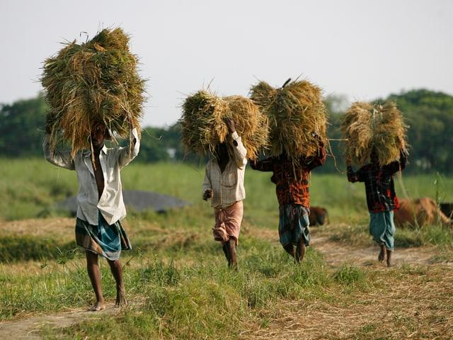 Bauern tragen Heu über ein Feld.