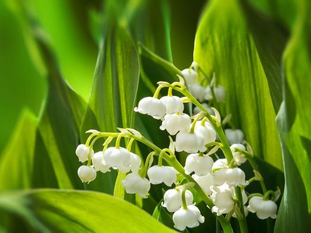 Kleine, weisse glockenähnliche Blüten.