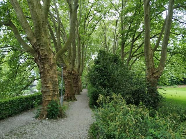 Platanenallee mit viel Grün rundherum und einem ungeteerten Weg.