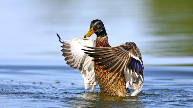 Ein Ente im Stand: die Flügel sind gespreizt, die Füsse noch im Wasser.