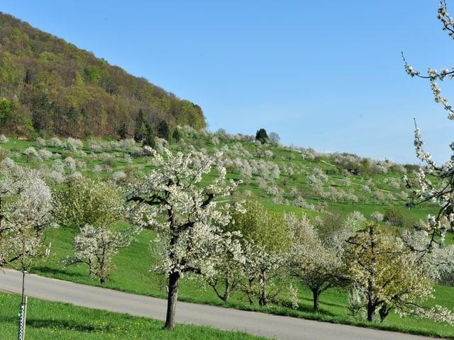 Auf dem Bild eine grüne Wiese und blühende Bäume der Frühling ist da.