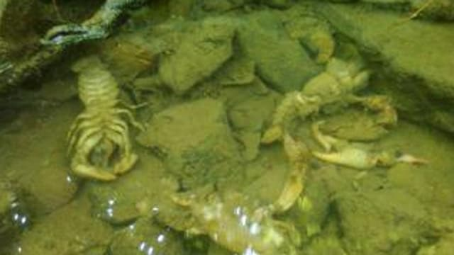 Tote Krebse in der Lützel.