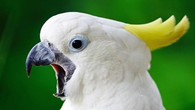 Ein Kakadu reisst Schnabel und Augen auf.