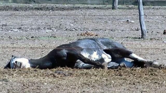 Totes Pferd liegt auf einer Koppel.