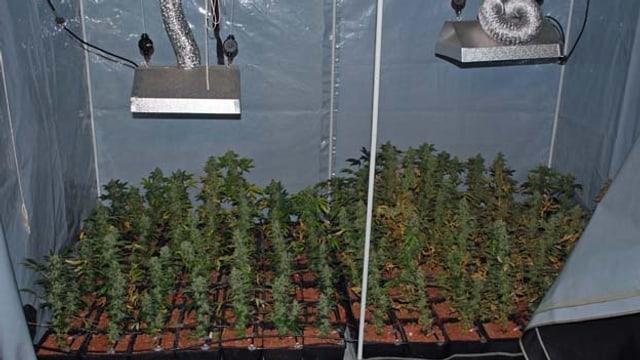 Kleine Hanfpflanzen unter Wärmelampen.