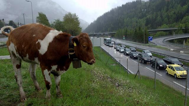 Eine Kuh über dem Gotthardnordportal, im Hintergrund Stau
