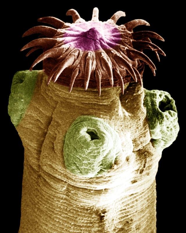 Makro-Aufnahme eines Katzenbandwurms.