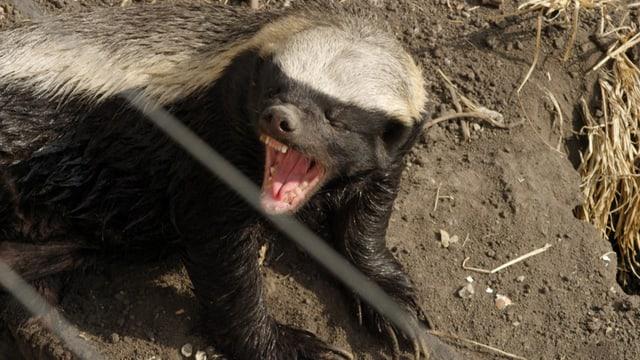 Honigdachs zeigt seine Zähne