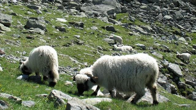 Schafe in den Bergen im Wallis