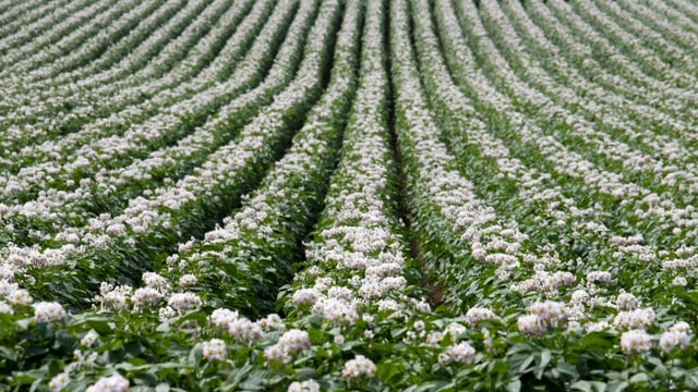 Blühende Kartoffelfelder in Hokkaido – in einer Archivaufnahme.