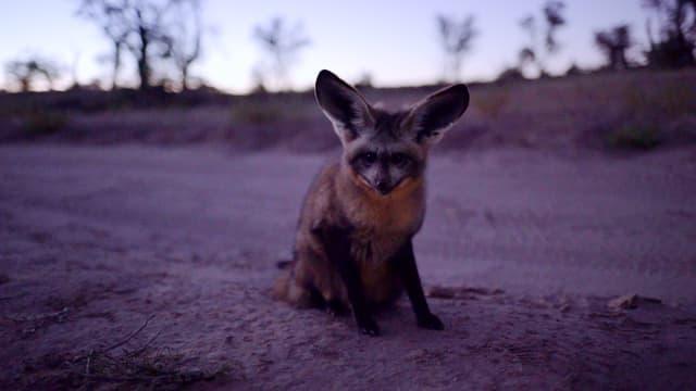 Bat-Eared-Fox,  Löffelhund oder Grossohrfuchs: Dieses putzige Tier hat viele Namen.