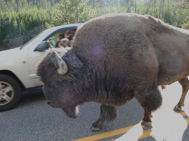 Ein Bison läuft neben einen Auto her.