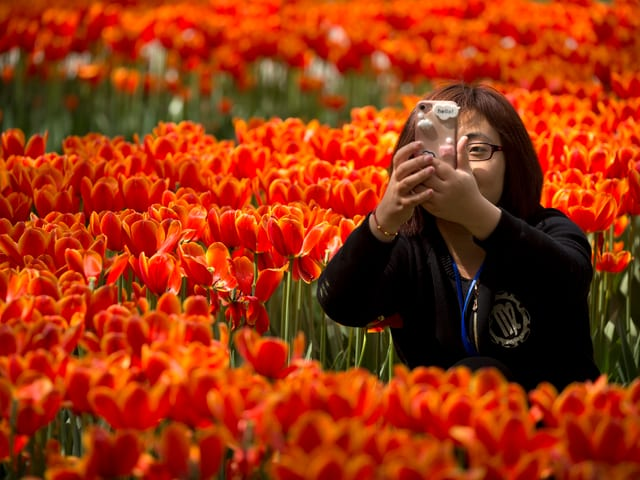 Frau mit Smartphone in Tulpenfeld.