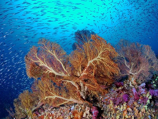 Farbenpracht unter Wasser: Korallenriff mit blauen und violetten Farben.