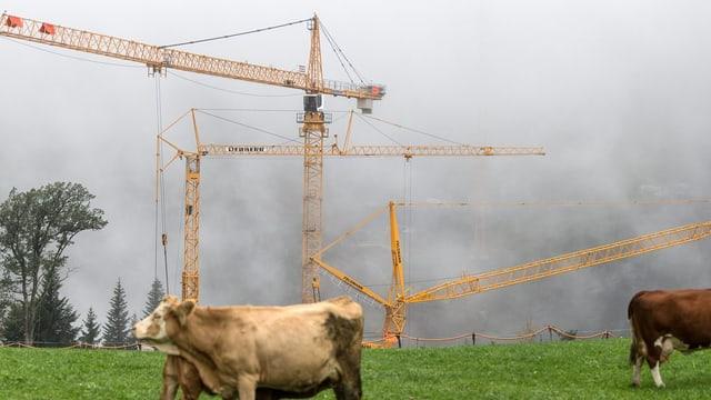 Kühe auf einer Wiese und hinten stehen Baukräne