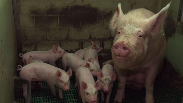 Mastschweine in engem, dreckigem Stall
