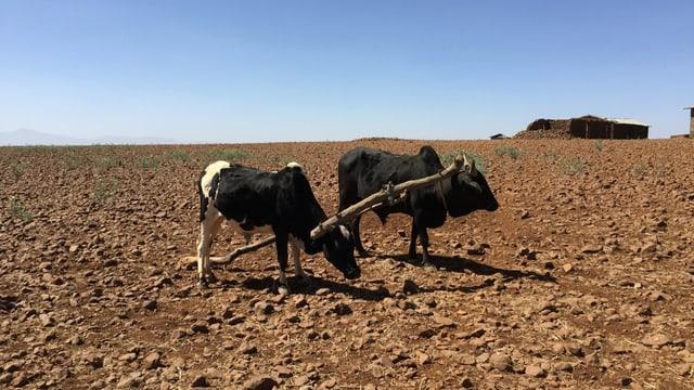 Zwei magere Rinder auf einem ausgetrockneten, mit Steinen übersäten Feld.