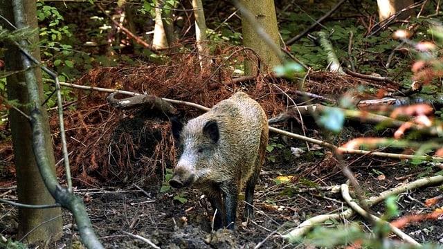 Wildschwein im Wald