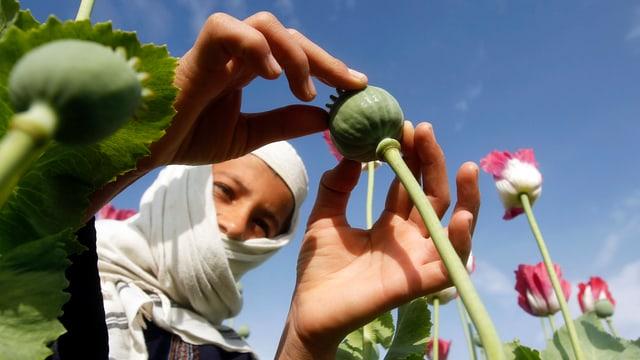 Ein Afghane bearbeitet eine Samenkapsel der Schlafmohnpflanze.