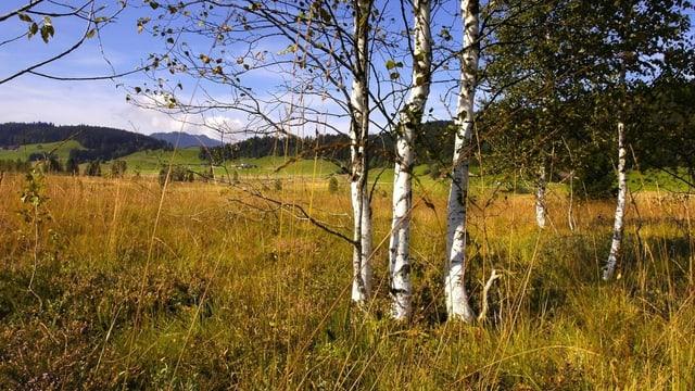 Blick auf ein Hochmoor mit Birken