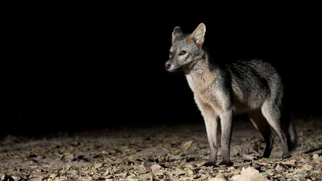 Ein Fuchs steht auf Laub in der Dunkelheit.