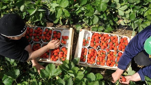 Arbeiter bei der Ernte von Erdbeeren