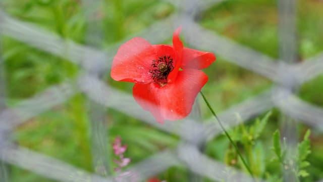 Symbolbild: Eine Mohnblume hinter einem Maschendrahtzaun.