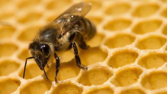 Eine Biene sitzt auf einer Wabe