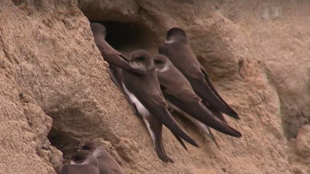 Braune Vögel vor Löchern in Sandwand.