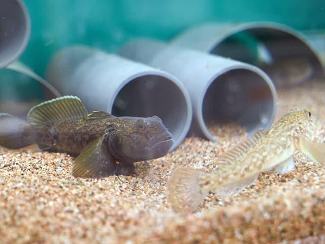 Zwei Fische vor Röhren im Wasser.