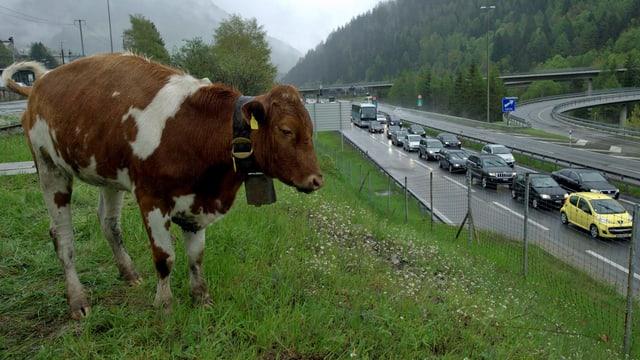 Eine Kuh steht nahe der Autobahn. Die Autos stehen im Stau.