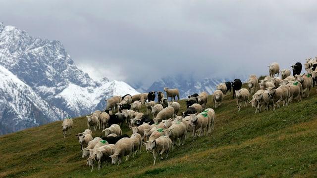 Schafe auf einer Alp im Engadin.