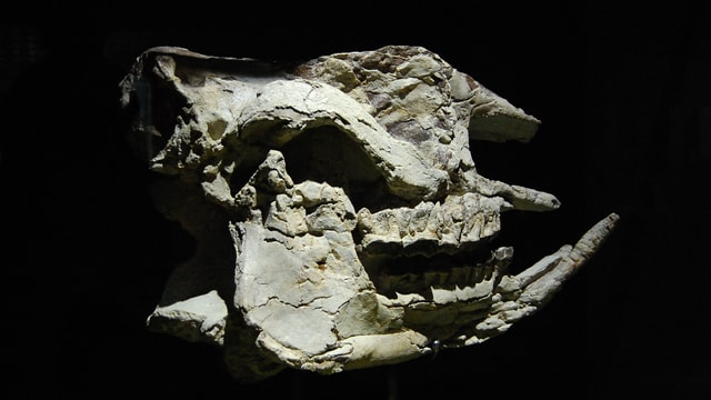 Der Schädel eines prähistorischen Nashorns.