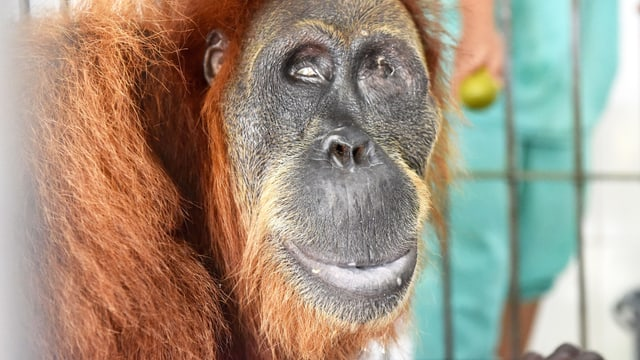 Die Sumatra-Orang-Utan-Frau Hope wurde angeschossen und schwer verletzt.