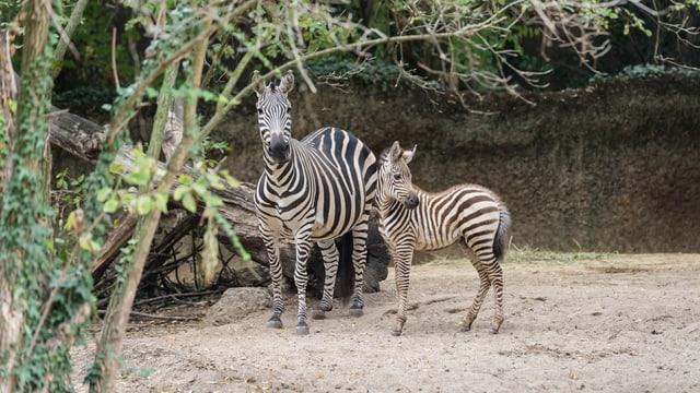Zebra-Mutter und Jungtier im Zoo Basel