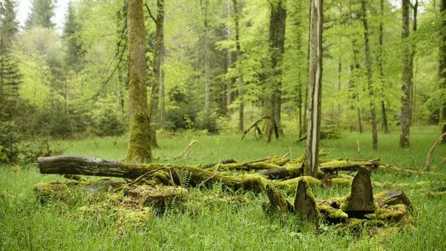 Eine Wald-Lichtung, auf der ein umgekippter Stamm liegt,