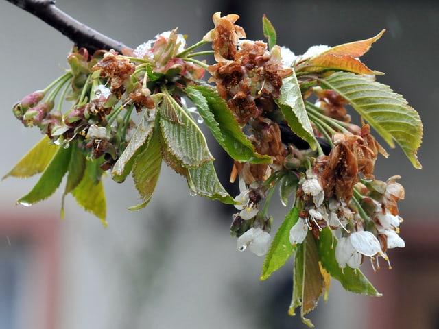 Grosse Teile der Kirschblüte sind durch die Kälte nun bräunlich eingefärbt.