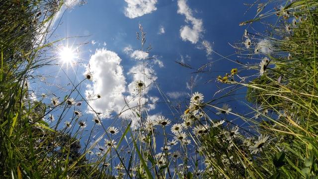 Blick vom Boden aus in den blauen Himmel, das in einer Blumenweise mit Margriten und Gräsern.