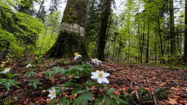 Ein Waldstück bei Baulmes.
