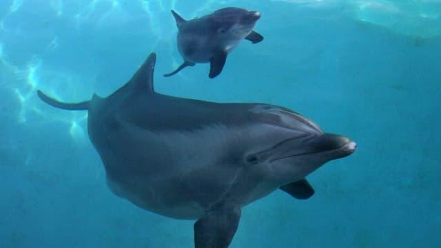 Delfin mit Delfinbaby.