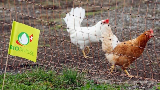 Eine Bio-Fahne weht vor zwei Hühnern.