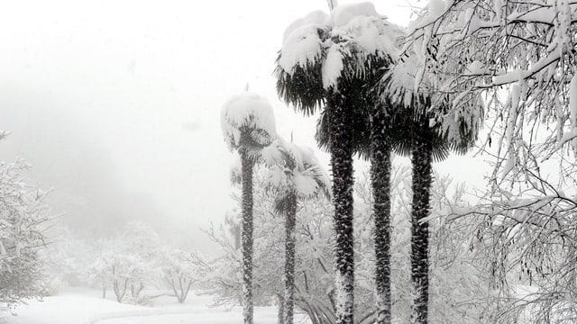 Verschneite Palmen auf dem Monte Ceneri, TI am 18. März 2013