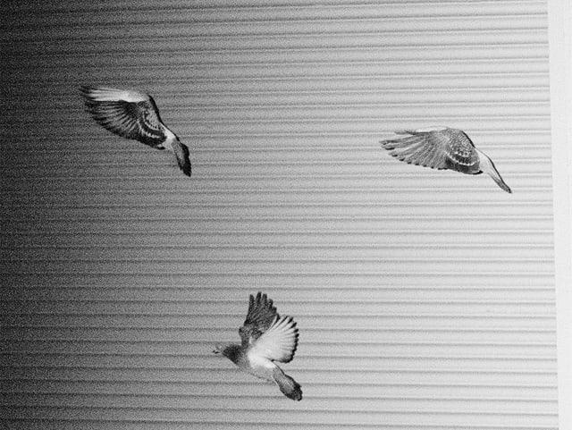Drei Tauben fliegen herum.