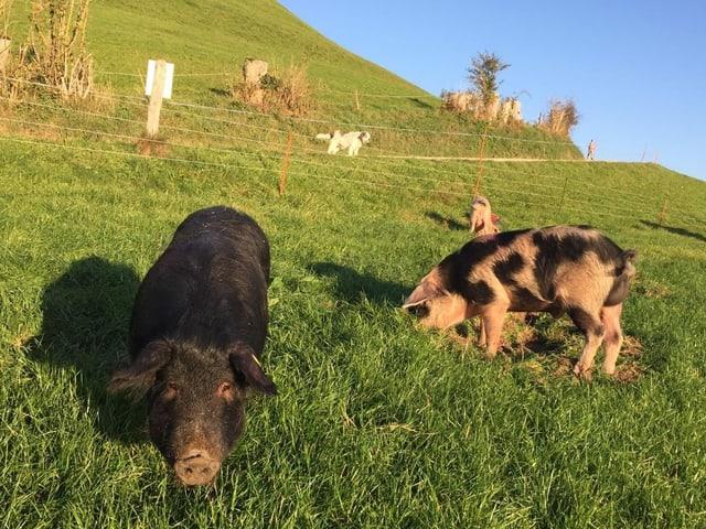 Alpenschweine auf dem Hörnlihof