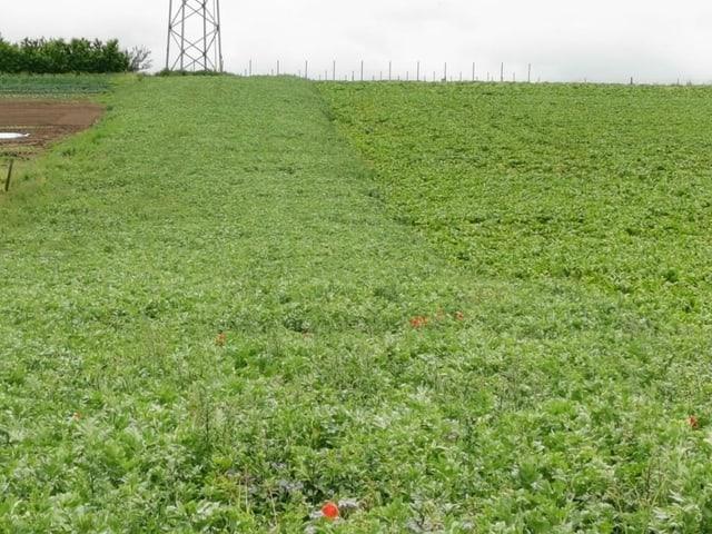 Feld komplett mit einer grünen Pflanzendecke bedeckt.